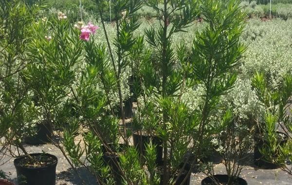 15G Desert Willow