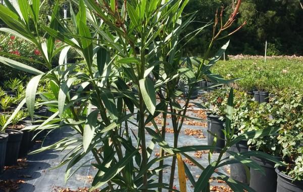 3G Oleander (Hardy Red)