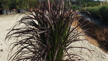 3G Purple Fountain Grass