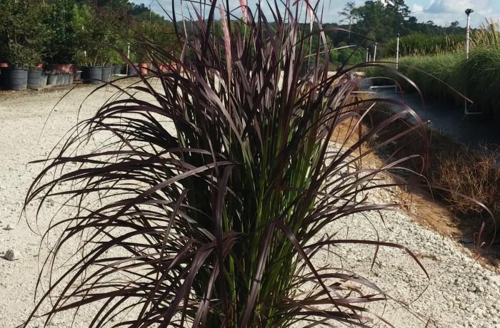 3G Purple Fountain Grass