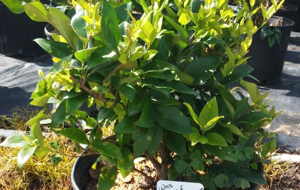 3G Wax Leaf Ligustrum