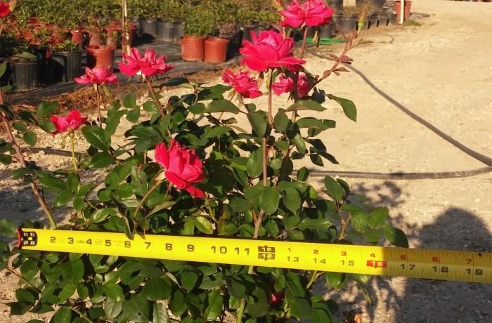 5G Roses
