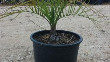 7G Pindo Palm